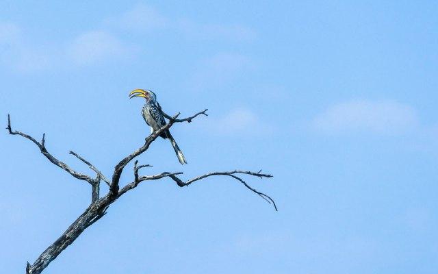 Rhino Drive Waterberg Hornbill Vogel