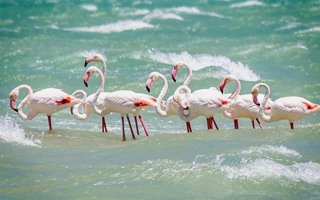 Flamingo's Langebaan lagune