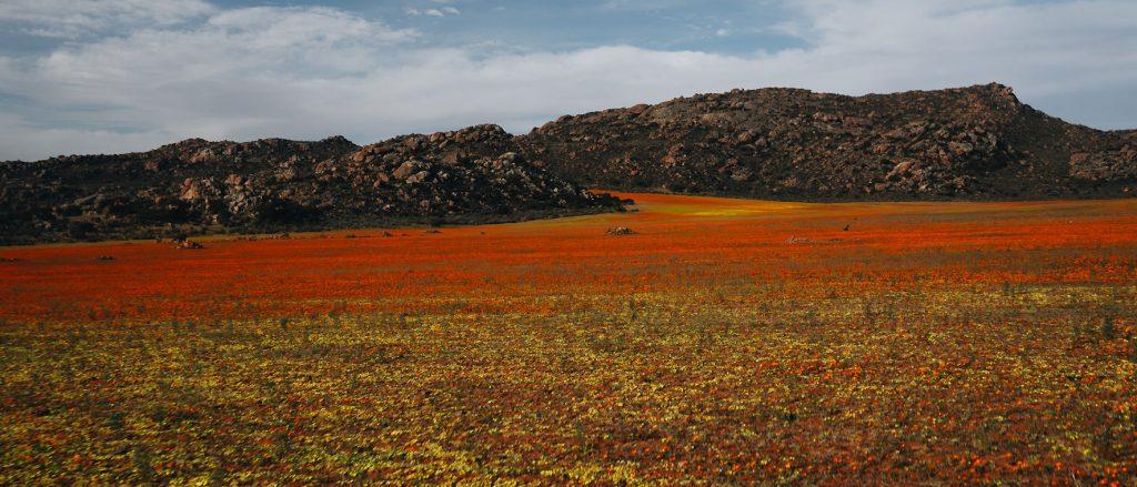 Wilde bloemen in helder geel en oranje Namaqualand
