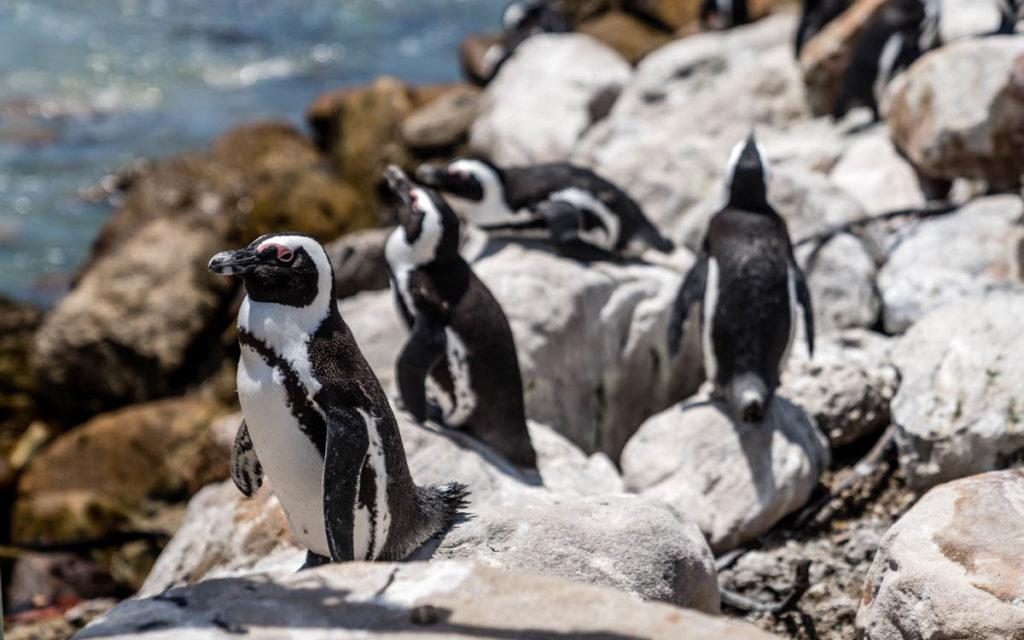 """pinguins-bettys-bay-zuid-afrika """"class ="""" lazy lazy-hidden wp-image-37800 """"srcset ="""" https://viel-unterwegs.de/wp-content/uploads/2019/04/pinguine-bettys-bay- zuid-afrika-1024x640.jpg 1024w, https://viel-unterwegs.de/wp-content/uploads/2019/04/pinguine-bettys-bay-suedafrika-500x313.jpg 500w, https://viel-unterwegs.de/ wp-content / uploads / 2019/04 / pinguine-bettys-bay-suedafrika-768x480.jpg 768w, https://viel-unterwegs.de/wp-content/uploads/2019/04/pinguine-bettys-bay-suedafrika .jpg 1200w """"data-lui-maten ="""" (max. breedte: 1024px) 100vw, 1024px"""