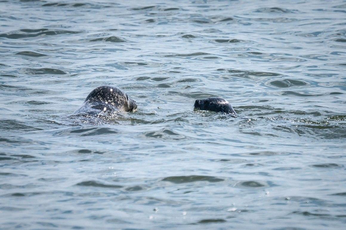 Zeehonden Wattenmeer Sylt