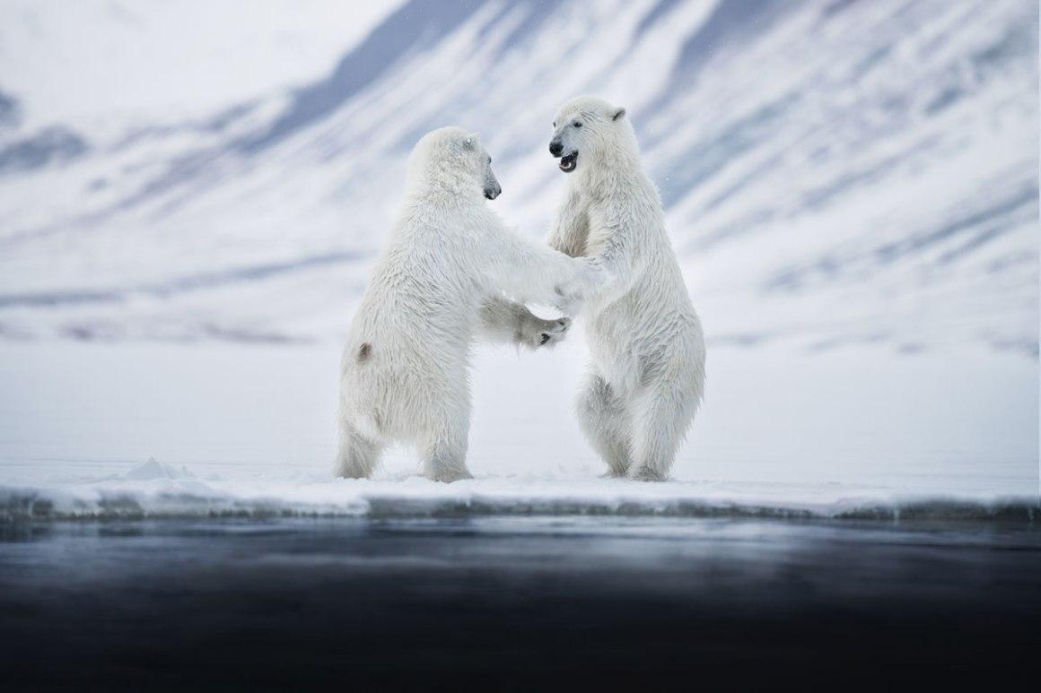 IJsberen Spitsbergen