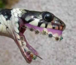 sarpe cu aparat dentar