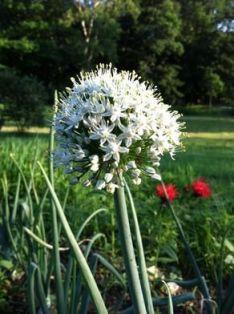 floare de ceapa