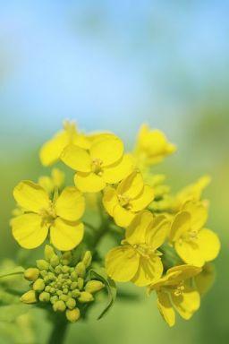 Parfum de rapiţă în floare