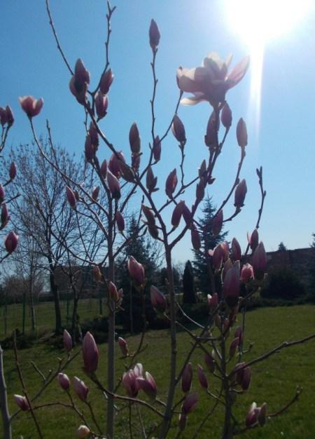 floare de magnolie