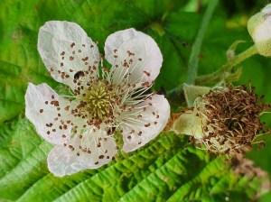 floare de zmeura
