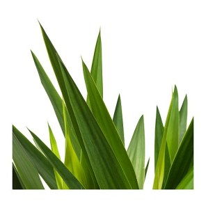 Yucca Palme von Ikea
