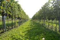 Weingut Esterhazy8