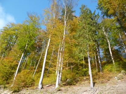 Dunkelsteiner forest