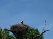 Stork colony