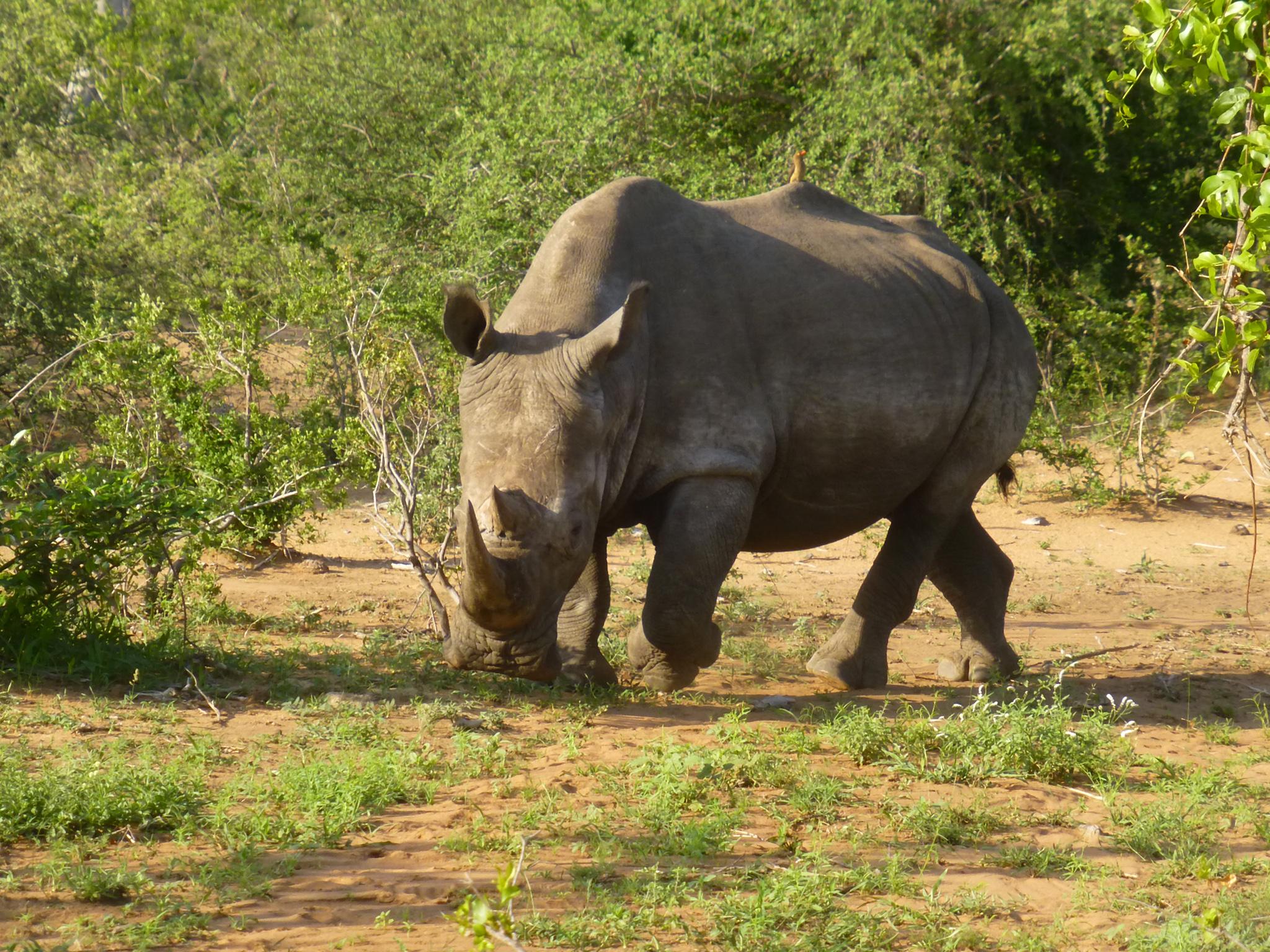 Animal africain