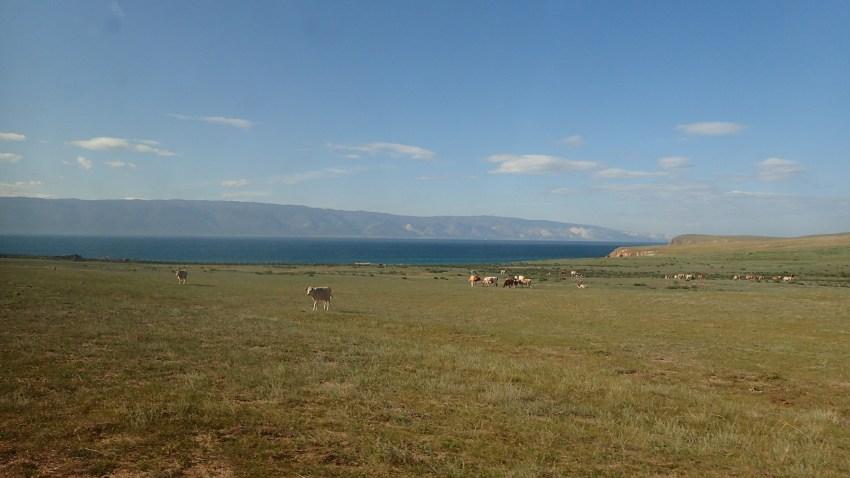 siberie vache
