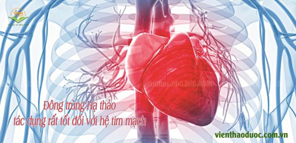 tác dụng đối với hệ tim mạch của đông trùng hạ thảo