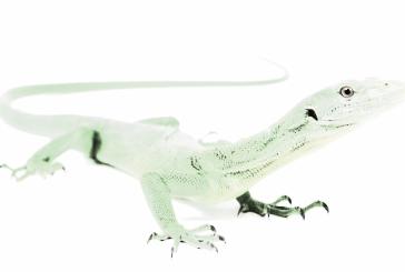 El lagarto que quería ser transparente