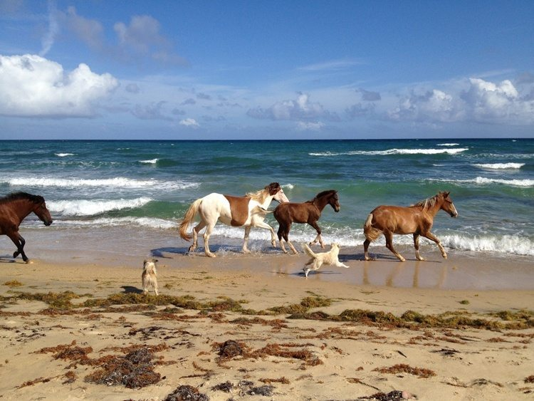The Horses of Vieques  Vieques Insider