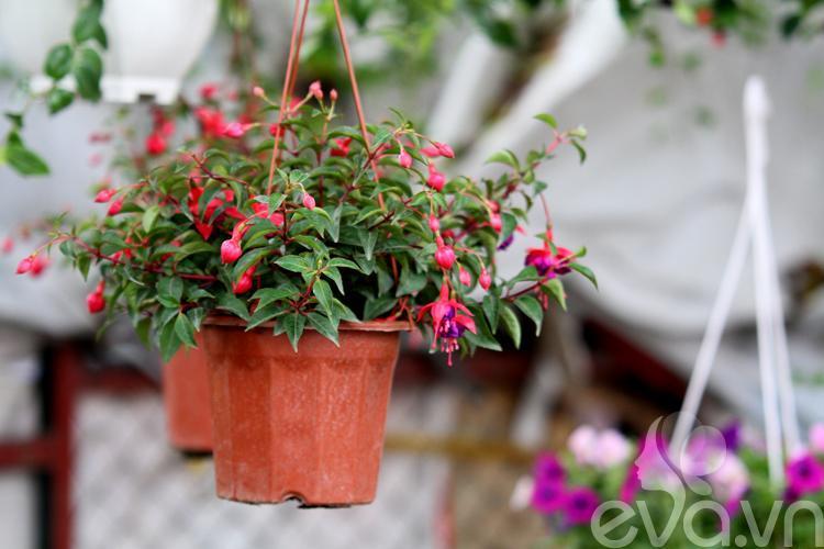 9. Hoa đèn lồng Hoa đèn lồng hay còn gọi hồng hoa đăng, lồng đèn, được trồng rất phổ biến ở Đà Lạt. Nhờ hình dáng mà loại hoa này được xếp vào hàng cây cảnh có tiếng. Có thể trồng hoa đèn lồng trong vườn làm cây cảnh, hoặc trồng trong chậu để trang trí nội thất. Hoa đèn lồng được ví với hình ảnh của những vũ nữ, cánh jupon màu đỏ hồng theo vũ điệu ba lê rất đẹp mắt. Bài liên quan: Tuyệt chiêu chăm sóc phong lan đẹp mỹ miều Xịt nước hoa cho nhà bằng... cây cảnh Cách trồng chanh tươi tốt vào mùa đông 10 cây cảnh giúp tiền vào như nước