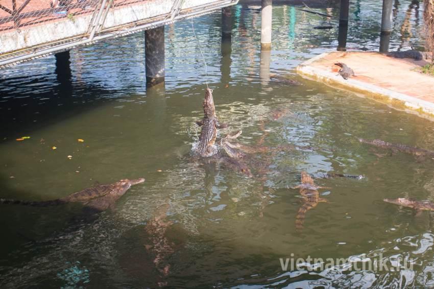 Кормление крокодилов с удочки
