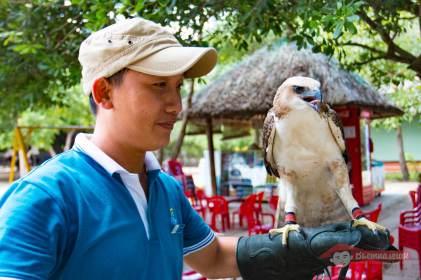 Ястреб на руке у вьетнамца