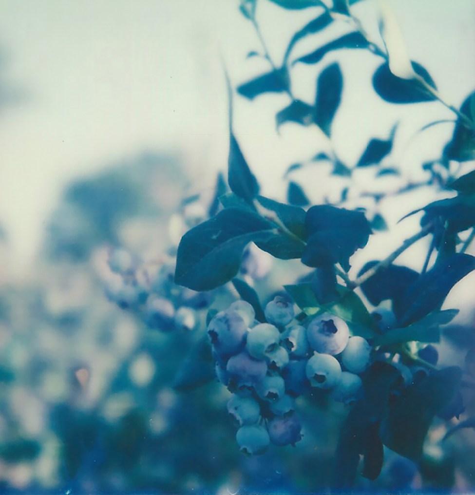 Blueberry bush2 no border 72px