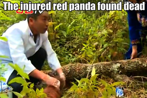 The injured red panda was found dead