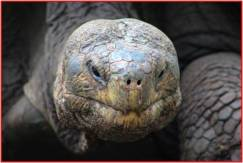A close up of a Giant Galapagos tortoise. Photo courtesy of Tonya Huff and Virginia White