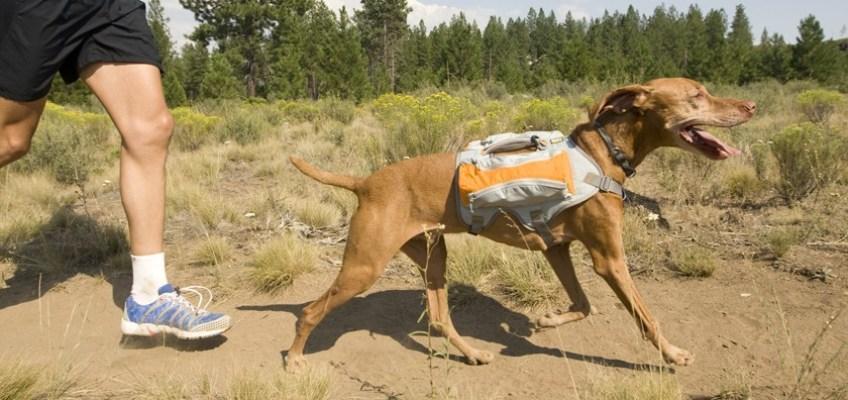 Training Your Dog To Run