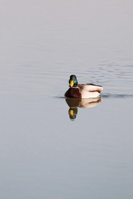 Mallard (male) - reflected in calm waters