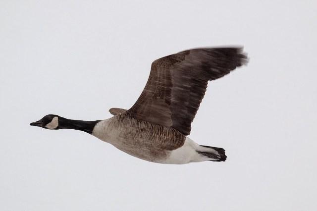 Canada Goose in flight (while snowing) - Manor Farm, Milton Keynes