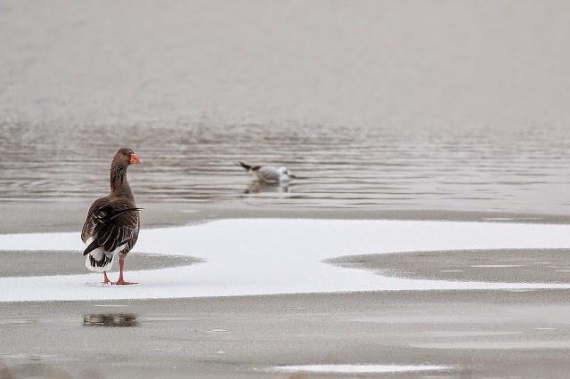 Greylag Goose (Broken wing)
