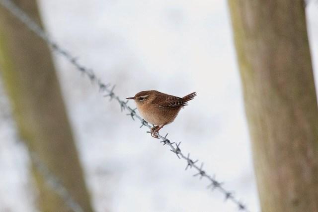 Winter Wren (on fence) - Manor Farm, Milton Keynes