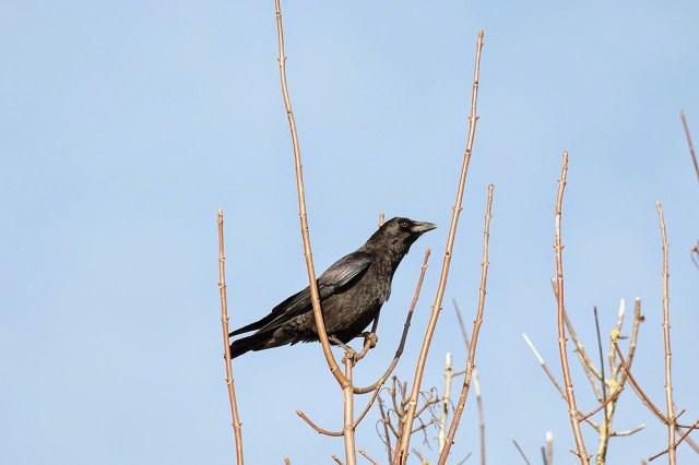 Carrion Crow - Cosgrove