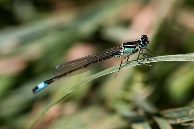 Blue-tailed Damselfly (male)