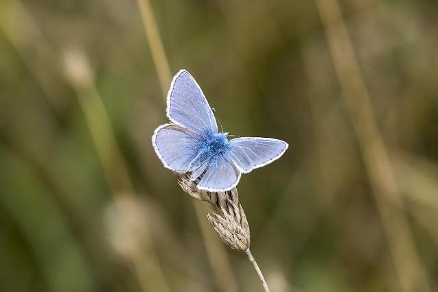Male Common blue