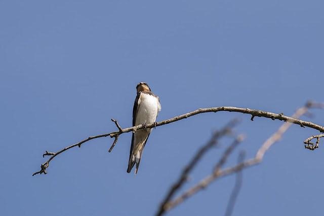 European Barn Swallow - Old Wolverton, Milton Keynes