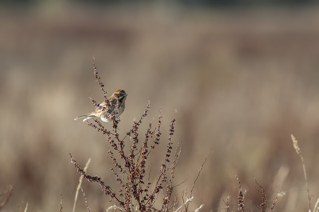 Female Reed Bunting in a Golden Light