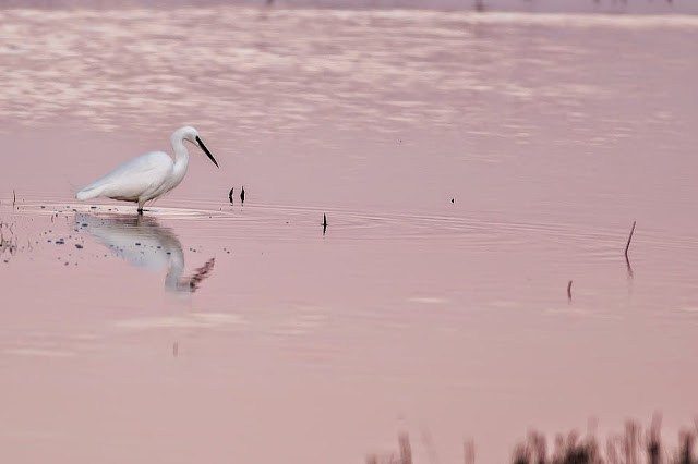 Little Egret in the setting sun of Sheppy