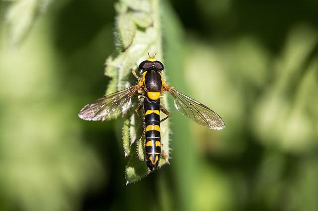 sphaerophoria (scripta) hoverfly