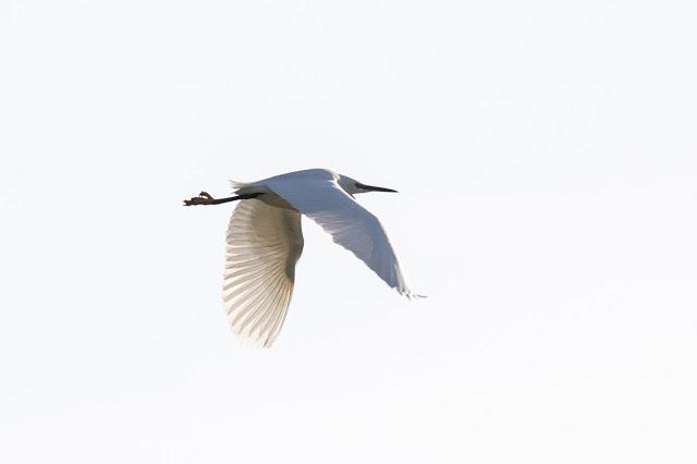 Little Egret in Flight over fields