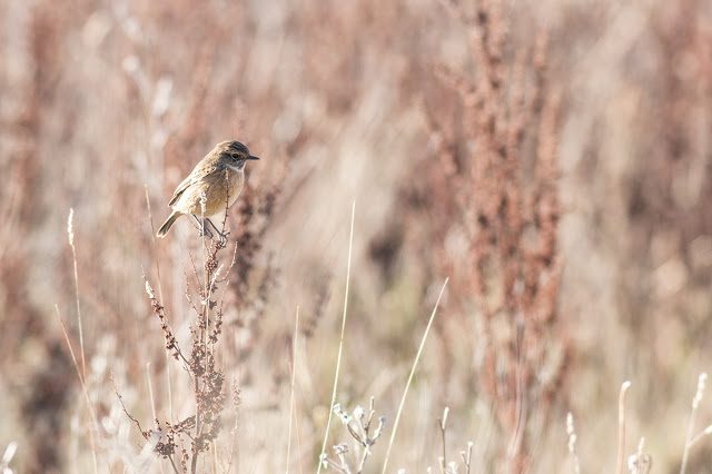 Final Stonechat photo
