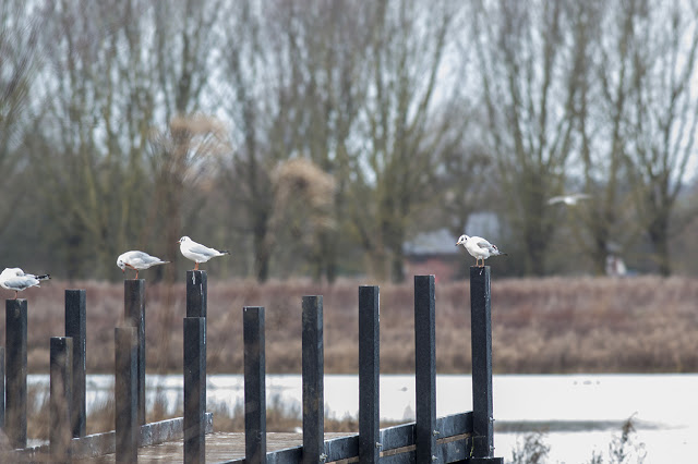 Black-headed Gulls on the posts of the yet to be built hides