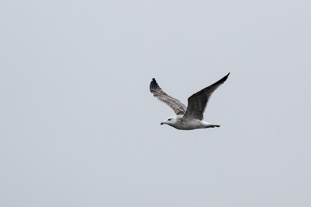 Lesser Black-backed gull (?) in flight