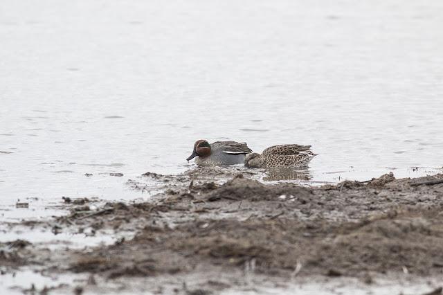 Eurasian Teal feeding in the mud.