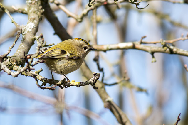 in the bushes - goldcrest