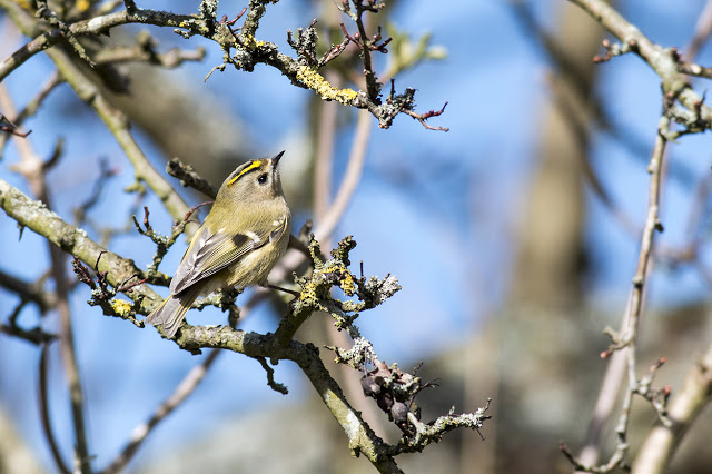 Searching for Food - Goldcrest