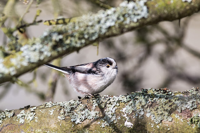 Getting Close to a Long-tailed Tit