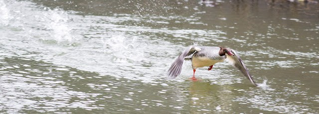 Female Goosander taking to flight