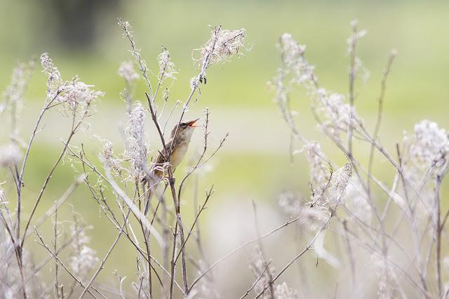 Sedge Warbler in Full Song