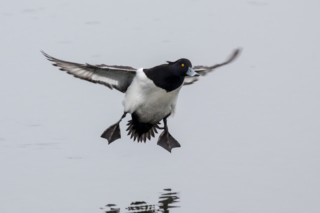 Tufted Duck coming in to Land