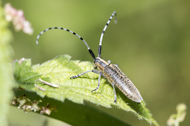 It has Been a While - Golden-bloomed Grey Longhorn